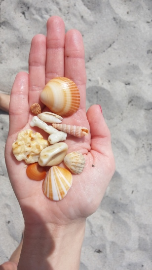 Shells found at Loggerhead Park, Juno Beach, FL.