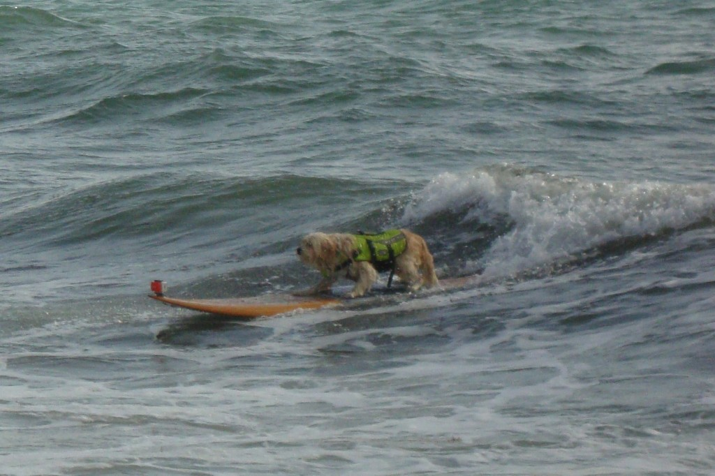 Professional Surf Dog! (Photo by Mom)
