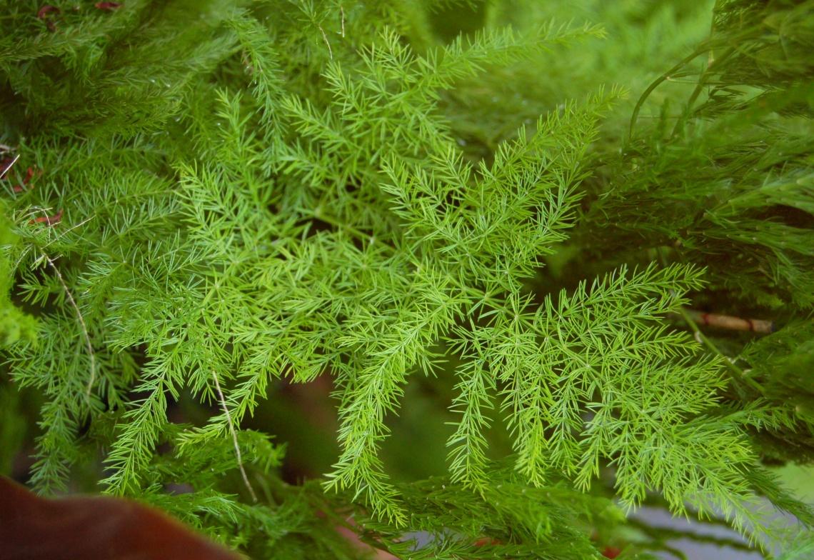 Pennock Asparagus Fern